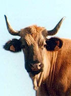 La vaca catalana se extingue