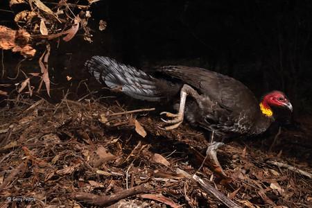 The Incubator Bird Gerry Pearce Wildlife Photographer Of The