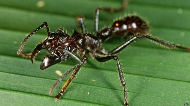 150318152640 Bullet Ants Spl 624x351 Spl