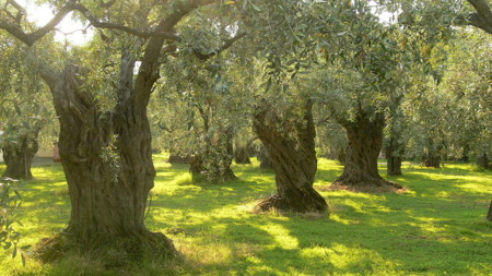 1280px Olive Trees On Thassos