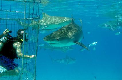Experiencia de lujo: nadar con tiburones