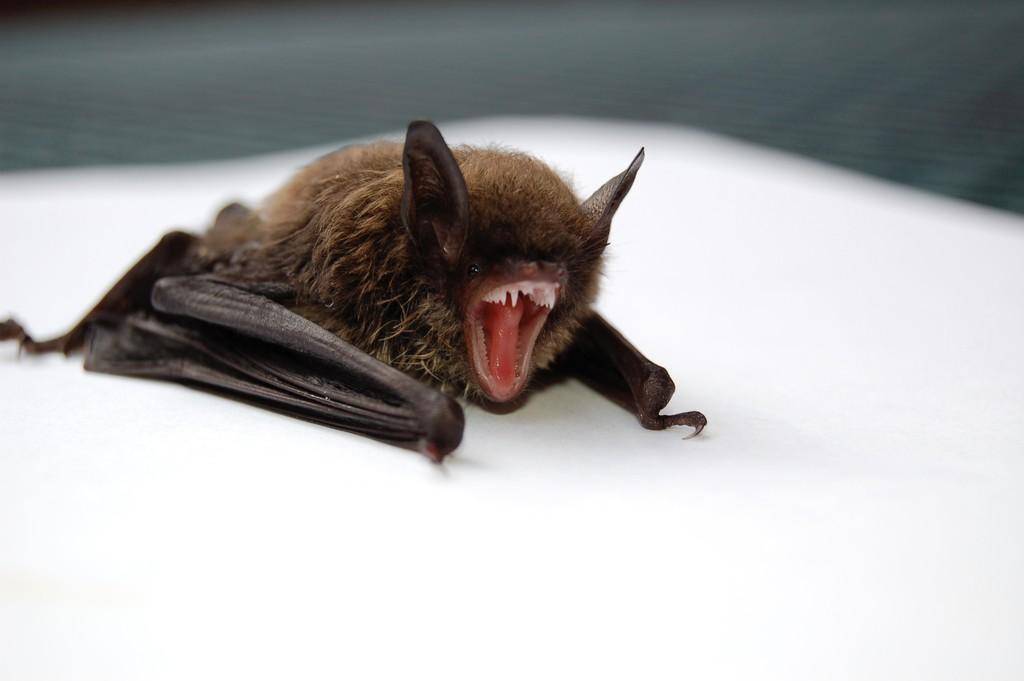 Lo que guardan los murciélagos: un reciente virus chino de la familia del Ébola será clave para estudiar a combatirlos mejor