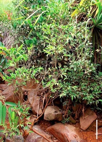 Descubierta una especie de planta que se alimenta de níquel