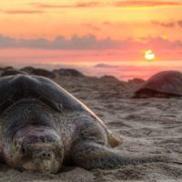 México protege a la tortuga marina con drones