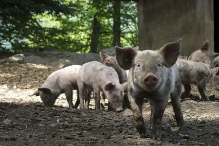 Farm Sweet Cute Pet Food Mammal 558823 Pxhere Com