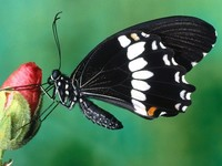 El supergén que ayuda a engañar a la mariposa