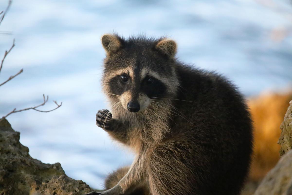 Aquella ocasión en la que el mapache invadió Japón por culpa de un anime infantil