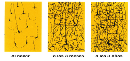 Así se multiplican las redes neuronales en los niños
