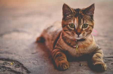 gatito-collar