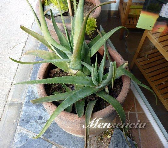 Aloe-vera-planta