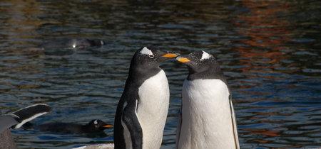 Dos pingüinos gay están criando a un polluelo: lo que hay que saber antes de invitarlos al Orgullo