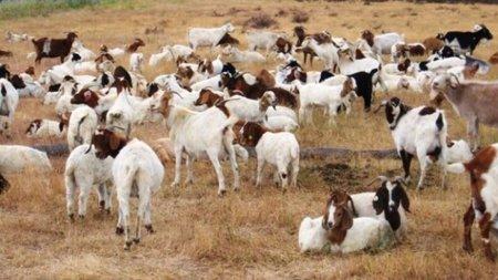 Imagen de la semana: las cabras de Google