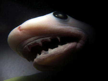 Tiger Shark Imgur
