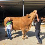 Este buey de raza gallega pesa 2.300 kilos y va a tener los chuletones más grandes (y más caros) de la historia
