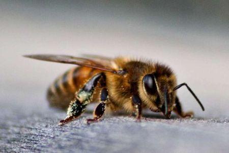 Abejas francesas producen miel azul y verde