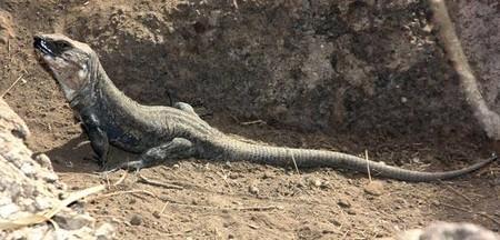 [Vídeo] El lagarto de Gran Canaria, un gigante en peligro