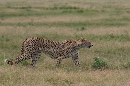 Un nuevo modelo de robot flexible imita el movimiento del guepardo para mejorar drásticamente su velocidad