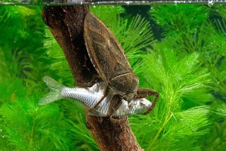 Este depreadador acuático devora tortugas y hasta serpientes: el chinche gigante