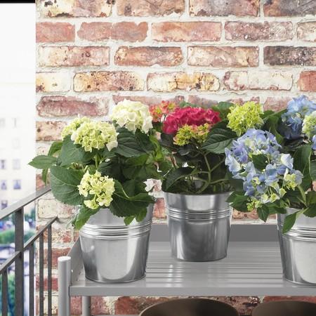 Hydrangea Potted Plant 0899756 Pe618661 S5