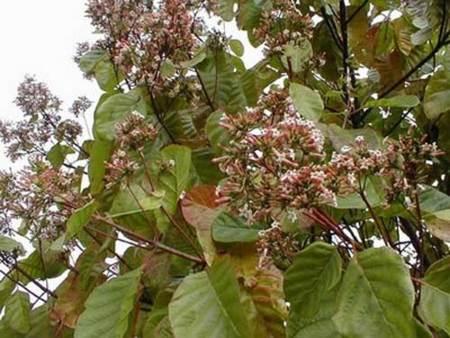 Beneficios medicinales  de la quina