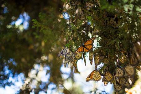 Millones de mariposas vuelven a volar hacia Michoacán. Así es como lo estamos consiguiendo