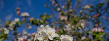 El hanami vasco de los manzanos en flor
