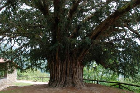 Los 11 árboles más bonitos de España