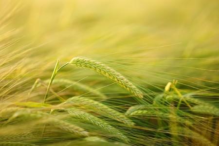 Barley 2117454 960 720