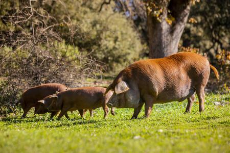 cerdo iberico rubio dorado dehesa de los monteros