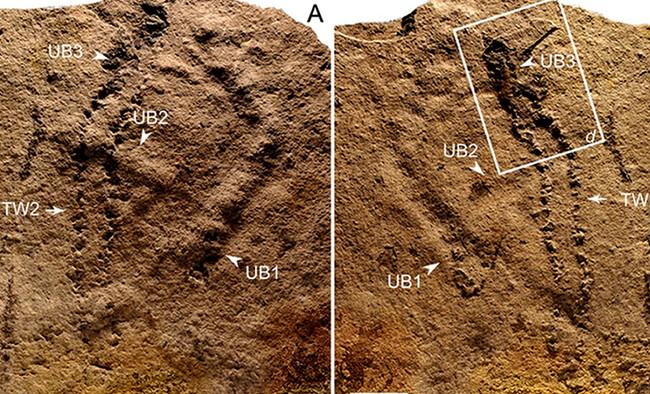 550 millones de años pateando la Tierra: hemos encontrado las huellas de animal más antiguas de la historia