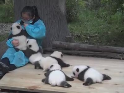 Cobrar casi 30.000 euros al año por cuidar bebés panda no es tan bonito como parece ¿O sí?