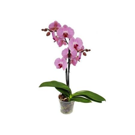 Phalaenopsis 2 Tallos