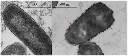 Se observa cómo las bacterias cambian su forma en el espacio exterior para ser más resistentes