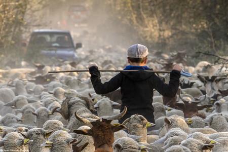 Hc Javier Sanchez Martinez Among The Herd Of Sheep