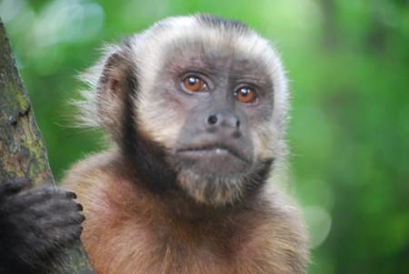 Los capuchinos también pueden ser rencorosos