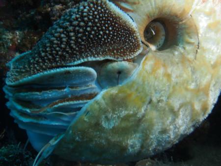 Allonautilus Closeup 600x450