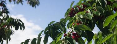 ¿Quieres saber como se cultivan, recogen y clasifican las cerezas? Acompáñanos en este viaje por el Valle del Jerte