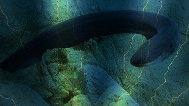 Cómo electrocuta una anguila generando 600 voltios de electricidad