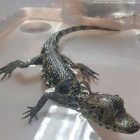 Continúa el tráfico ilegal de animales por paquetería en México: ahora fueron una boa, una pitón y un caimán