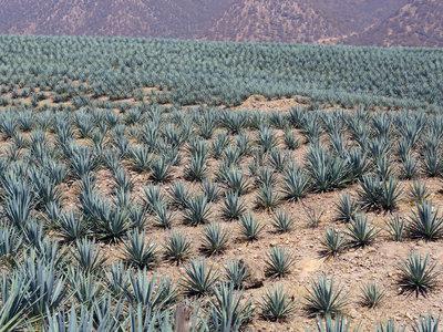 La planta del tequila podría tener la solución para sobrevivir la sequía