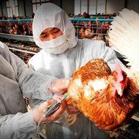 Virus H5N6, todo lo que sabemos: un nuevo tipo de gripe aviar, pero no hay de qué preocuparse (contrario a lo que dicen en redes)