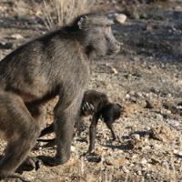 Algunos primates pueden expresar dolor por la muerte de su bebé llevando el cadáver con ellos, a veces durante meses