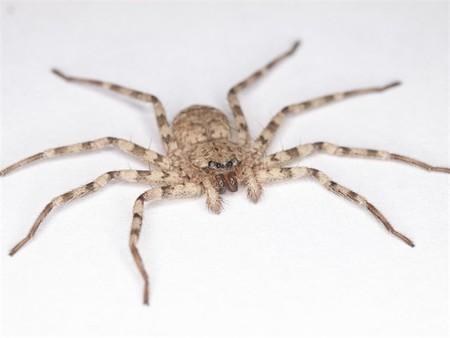 La maniobra de esta araña es la más rápida jamás contemplada