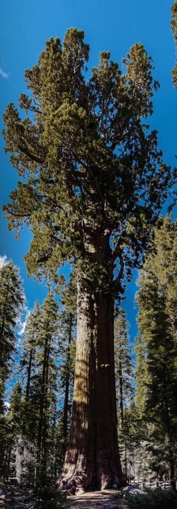 United States California Sequoia National Park General Sherman Tree Panorama