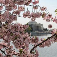 Los cerezos en flor de Washington llegarán a finales de mes, justo para su Festival