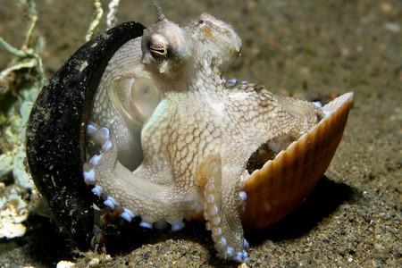 ¿Por qué los pulpos son tan inteligentes? Porque perdieron sus conchas hace millones de años