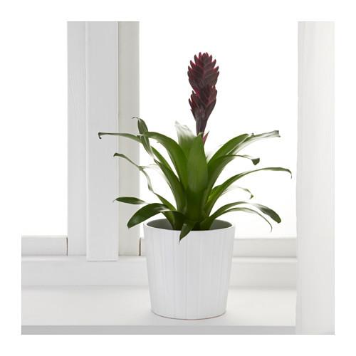 Bromeliaceae Planta 0443858 Pe594581 S4