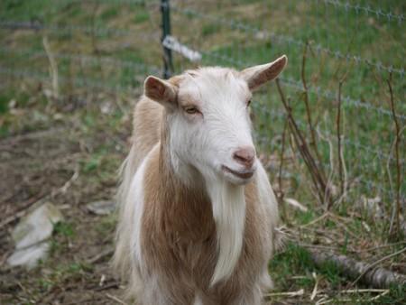 La gente feliz tiene más éxito con las cabras