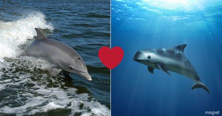 La última misión de los delfines militares: salvar de la extinción a la vaquita marina