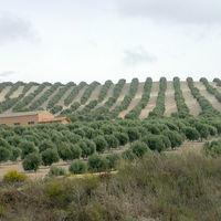 Por qué en Jaén, con un 24% de paro, no hay gente para la aceituna
